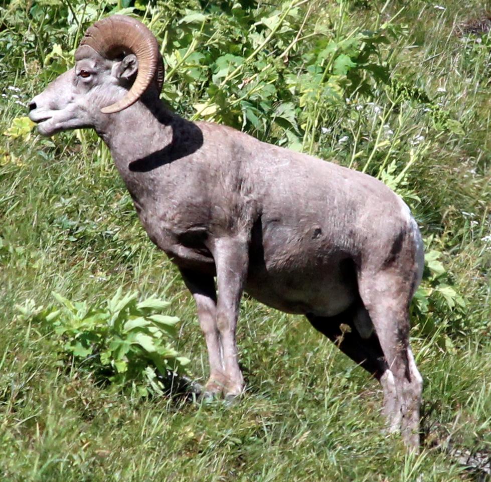 glacier national park bighorn sheep